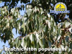 Brachichiton populneum det hojas.jpg