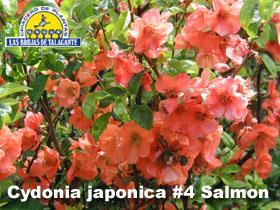 Cydonia japonica naranja det3flor copia.jpg