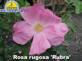 Rosa rugosa rosada det1alta copia.jpg