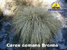 carex_comans_broze_pan1alta_copia.jpg