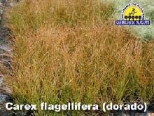 carex_flagellifera_dorado_pan1alta_copia.jpg