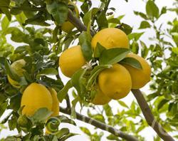 Limon Mesina frutas.jpg