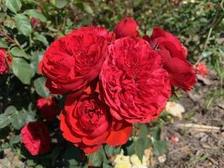 Rosa Fl Red Da Vinci IMG_0074.jpg