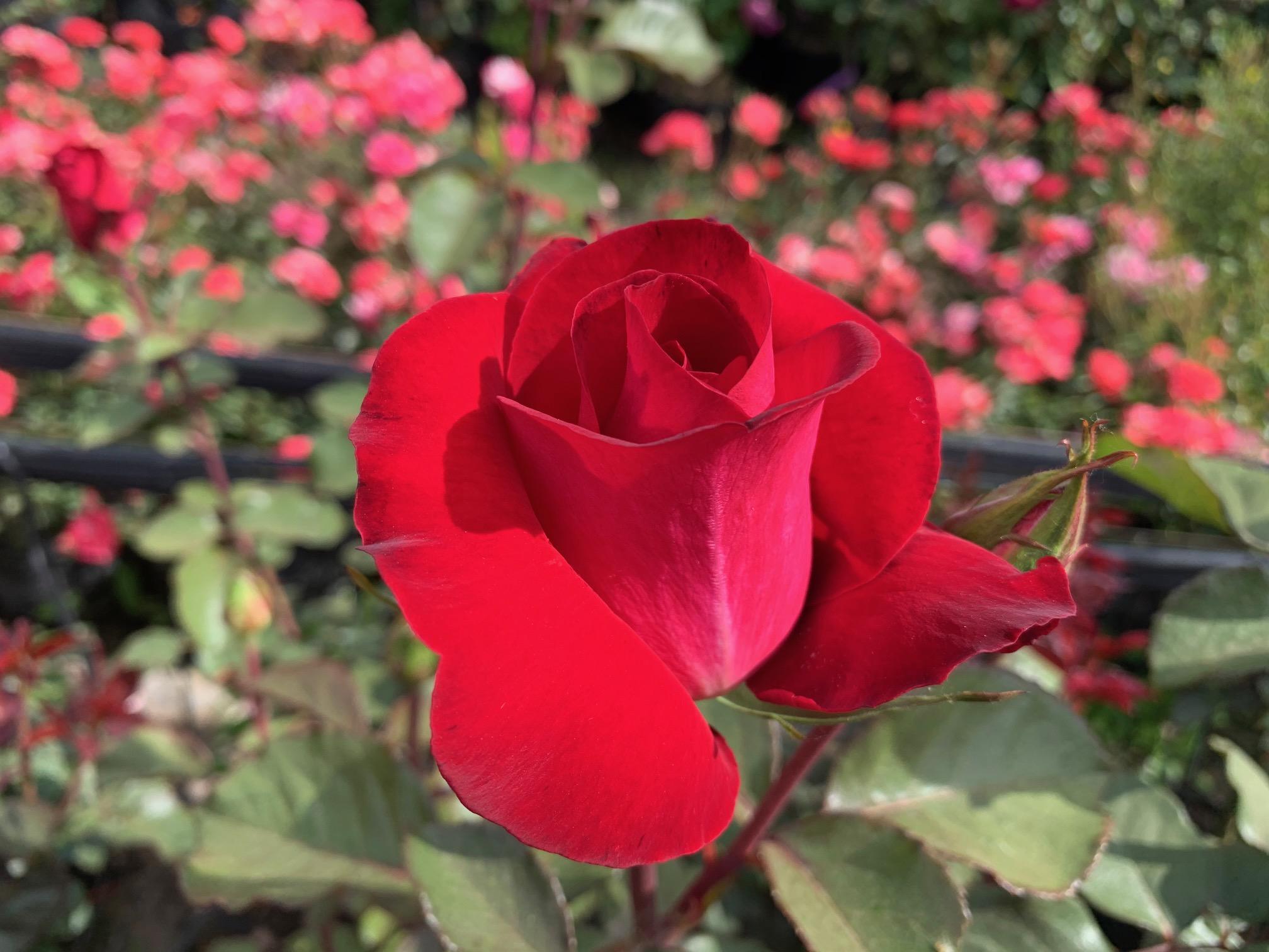 Rosa 5239 Ronald REagan IMG_6600.jpg