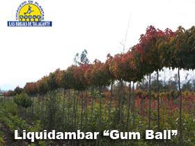 Liquidambar Gum Bal pan1.jpg
