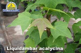 Liquidambar acalycina det Imagen1 089.jpg