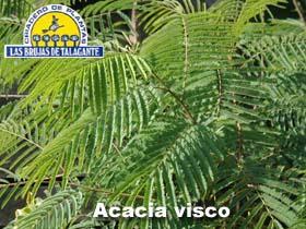Acacia visco det1h copia.jpg