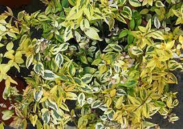 Abelia Aurea  hojas baja.jpg