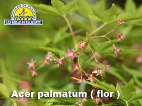 Acer palmatum det1flor.jpg