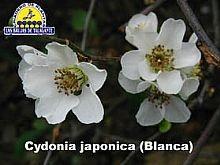 Cydonia japonica Blanca web1 copia.jpg