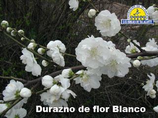 Durazno de flor Blanco 2 det1.jpg