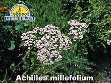 Achillea milefolium pan1 copia.jpg