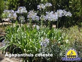 Agapanthus celeste web1 copia.jpg