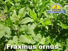 Fraxinus ornus det1hojas.jpg