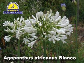 Agapanthus africanus Blanco det1b web1 copia.jpg