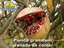 Punica granatum (de comer) fruto2 copia.jpg