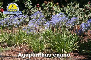 Agapanthus enano pan flores2.jpg