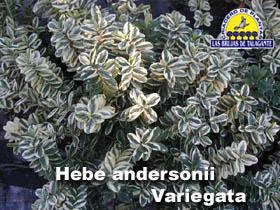 Hebe andersonii Variegata pan1b copia.jpg