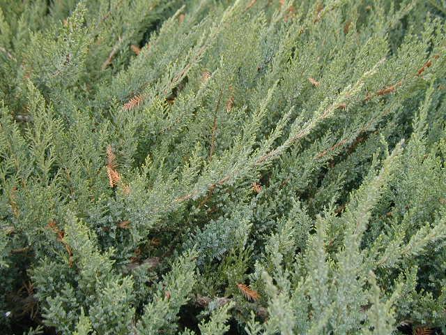Juniperus chin. Hetzii-Glauca det1.JPG