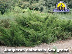 Juniperus chinensis sea green pan1bweb1 copia.jpg
