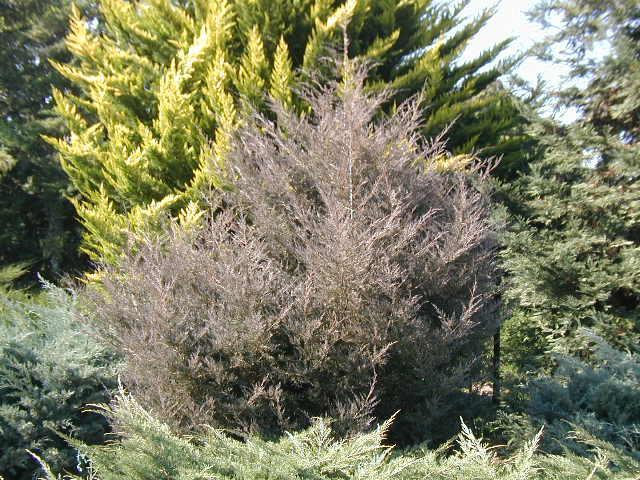 Juniperus virginiana pan1b.JPG