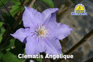 Clematis Angelique det1 IMG_9518.jpg