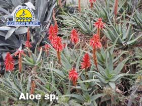 Aloe sp pan 1.jpg