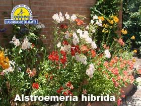 Alstroemeria surtidas pan14.jpg