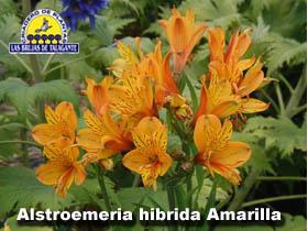 Alstroemeria hibrida amarilla det3alta copia.jpg