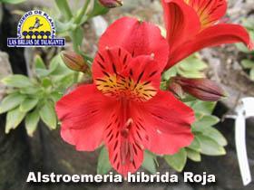 Alstroemeria hibrida roja det1alta web1 copia.jpg