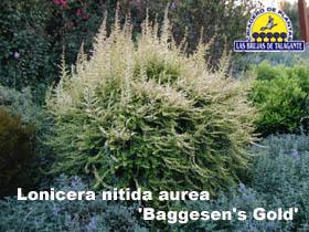 Lonicera nitida aurea Baggesens Gold copia.jpg