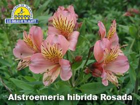 Alstroemeria hibrida rosada det2.jpg